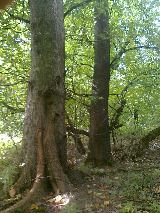 исто то, али мало друкчије. Јак корен, висок раст...